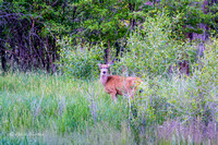 Deer Grazing in Francis- Utah-3