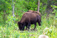 Buffalo in Woodland-Utah-1