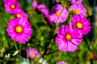 Pink Cosmos Flower-1