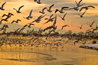 Seagulls Flock at Bountiful Pond-0035