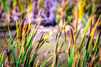Echo Canyon Cattails-1