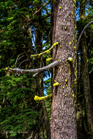Yellow Moss on a Douglas Fir Tree-1